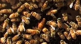 Backyard Beekeeping: Helping the Honey Bee